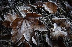 Frozen leaves in late autumn with rime early morning #stocksy #photocosma #leaves