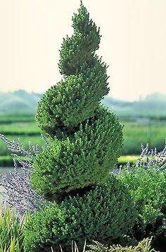 Picea Glauca Conica 'Capri'.