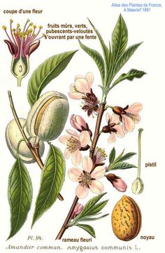 Almond Antique Botanical Illustration from Flora of Germany circa 1903 Nature Illustration, Floral Illustrations, Botanical Drawings, Botanical Prints, Illustration Botanique Vintage, Plant Sketches, Impressions Botaniques, Plant Aesthetic, Images