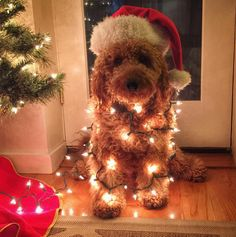 Christmas tree is lit! (as am I) by samsonthedood Dog Christmas Pictures, Christmas Puppy, Holiday Pictures, Christmas Mood, Christmas Animals, Xmas, Dog Photos, Dog Pictures, Christmas Aesthetic