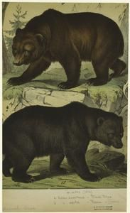 Black bear ; Brown bear.
