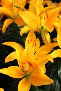 Azucena - Bulbos que se convierten en plantas exuberantes y pasan a ser los grandes protagonistas. Flores vistosas, fáciles de cultivar, de todos los colores, para todas las épocas del año, un placer para cualquier principiante en jardinería.