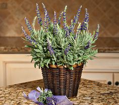 Lavender is a sweet-scented herb that is easy to grow indoors, as long as it has light and warmth. Experts say to water only when very dry and do not fertilize.