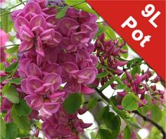 Robinia pseudoacacia 'Casque Rouge' (Pink Cascade False Acacia) - 9L Pot