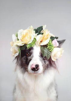 Blue Merle Border Collie Flower Girl @KaufmannsPuppy