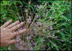 Blog piante perenni - perennial plants: Prima volta Schubertii.