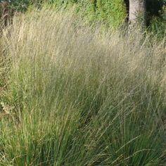 Moor grass Detail