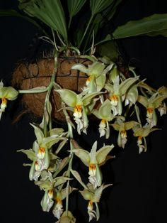 Stanhopea ruckeri with five inflorescences