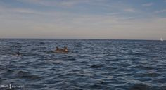 Dolphins in Port Isaac Bay, Cornwall