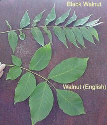 14 Best English walnut images in 2018 | Woodworking crafts