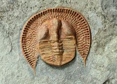 Declivolithus cf. alfredi    Trilobites Order Asaphida Suborder Asaphina, Superfamily Trinucleioidea, Family Trinucleidae  Geologic Age: Upper Ordovician  Trilobite is 44 mm long   Tinjdad, Morocco