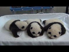 動画:パンダの三つ子、すくすく成長中 写真1枚 国際ニュース:AFPBB News
