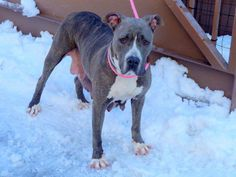 URGENT - Manhattan Center    MAMA - A0991628   FEMALE, GRAY / WHITE, PIT BULL MIX, 2 yrs  STRAY - ONHOLDHERE, HOLD FOR ARRESTED Reason STRAY   Intake condition NONE Intake Date 02/13/2014, From NY 11216, DueOut Date 02/21/2014, I came in with Group/Litter #K14-168042 thread: +++++CAME IN WITH   nine 19-day-old puppies ++++++