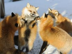 A gathering of foxes is called a skulk, leash, or earth...the more you know!