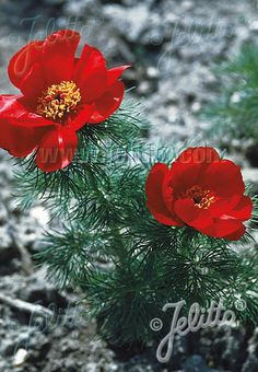 PAEONIA tenuifolia   Portion(s) Colorful Flowers, Purple Flowers, Paeonia Tenuifolia, Rare Species, Container Size, Foliage Plants, Early Spring, Basic Colors, Peony