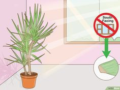 How to Care for a Madagascar Dragon Tree. The Madagascar dragon tree, or Dracaena marginata, is a reliable and low-maintenance indoor plant. If you live in a warm area with extremely mild winters, you can also keep this colorful tree. Madagascar Dragon Tree, Low Maintenance Indoor Plants, Old Trees, Prim Christmas, Colorful Trees, Winter Trees, Scandinavian Christmas, Container Plants, Sympathy Cards
