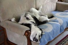 Wodak, the Siberian Husky, coping with obstacles to do the Siberian Husky Twist.  Oh, the crazy, twisted positions huskies love!  ♥