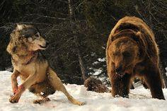 Wolf Challenges Feeding Bear