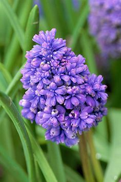 Muscari 'fantasy creation'