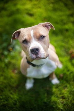 Meet Suzie, a Petfinder adoptable Pit Bull Terrier Dog | Seattle, WA | See more pictures of Suzie on her Facebook...
