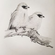 Black faced wood swallows pencil on paper