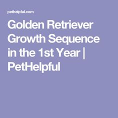 Golden Retriever Growth Sequence in the 1st Year | PetHelpful
