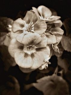 Artistic Nature Photography. Sepia Photography Prints.  Sepia Flower Prints.  Floral Sepia – Copyright 2012 Dawn Mercer, Canadian Artist