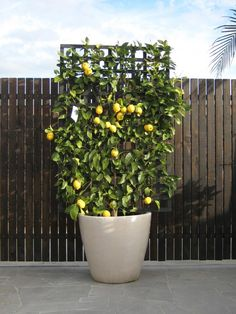 Container gardening and Pot Ideas, see the gardening pin suggestion ref 2229582617 to creating our favorite plants in a pot. Lemon Tree Potted, Potted Fruit Trees, Espalier Fruit Trees, Fruit Tree Garden, Citrus Trees, Garden Trees, Potted Trees Patio, Balcony Garden, Back Gardens