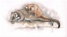 Mom and Baby Ringtail Possum Original Illustration