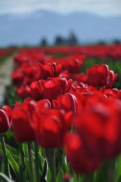 Skagit Tulip Festival by moldychum, via Flickr