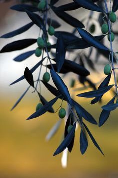 olive oil cosmetics from the Riviera . www.varaldocosmetica.it