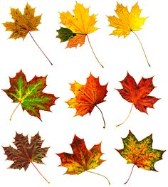 Big collection autumnal maple leaf …