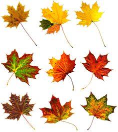 Big collection  autumnal maple leaf