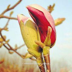 Magnolia 'Cecil Nice' #gardening #tuinieren #jardinage #gartenarbeit #magnolia #flowers #bloemen #fleurs #blumen #tree #boom #arbre #baum #hortusconclusus #treenursery #boomkwekerij #pépinière #baumschule #uitbergen #berlare #zele #wichelen #schellebelle #lokeren #schoonaarde #dendermonde #laarne #beervelde #kalken #wetteren