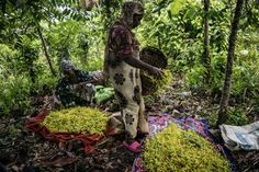 Production of ylang ylang flowers under threat in Comoros? © AFP Photo / Marco Longari