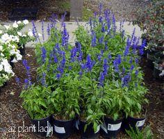 Blue Salvia 3 for each deck corner