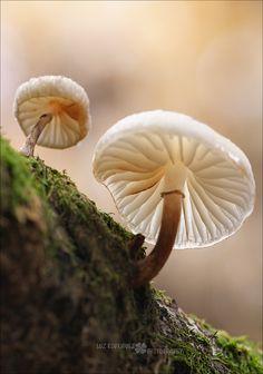Mushrooms by Luz Rodríguez  on 500px Mia Marasmius (Marasmiellus albuscorticis)