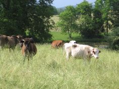 Whiffletree Farm...grass fed beef and pastured poultry, pork, and eggs in Warrenton VA