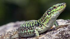 La lucertola appartiene alla specie di rettili sauri con il corpo allungato, squamoso, di colore olivastro sopra e chiaro sotto, la testa triangolare,