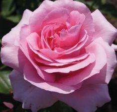 """ Jardins de Villandry "" (DELrovrai) - Shrub, hybrid tea rose - Pink, lighter edges - Strong fragrance - G. Delbard (France), 1995"