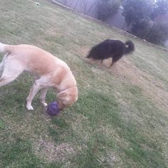 Finishing dinner with their treat toys. Grommet carried his away leaving a trail of bickies for Sally to clean up. - - #petsitting #dogs #labrador #shepherdmix #dogstagram #dogsofinstagram #environmentalenrichment #tireddogsarehappydogs #dogbowlsareout #wagga #wagga2650 #suzspetservices - http://ift.tt/1HQJd81