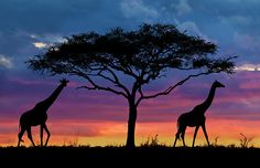 We take a look at Tanzania safari tour package options with our photographic exploration of the Serengeti, Ngorongoro Crater & Zanzibar. African Sunset, Foto Poster, Serengeti National Park, Sunset Art, African Safari, Africa Travel, Kenya, Beautiful World, Silhouettes