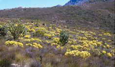Sand Plain fynbos near Wellington - Cape Reeds (Restionaceae), Geelbos/sunshine conebush (Leucadendron salignum) -  c/o www.plantzafrica