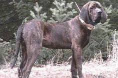 Plott Hound | Temperament & Personality