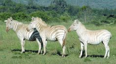 A group of white zebras. They are not a true albino, but leucistic…like a white tiger.