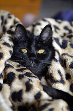 Black cat with orange eyes in a leopard print blanket