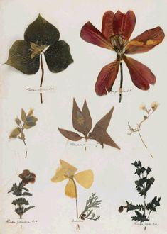 """ Emily Dickinson's Herbarium, digital facsimile. By permission of the Houghton Library, Harvard University; via poets  """