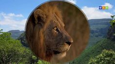 """Südafrikas Regenbogenroute - eine Reise voller Höhepunkte: Die atemberaubende Panoramaroute in Mpumalanga Pirschfahrten im Krüger Nationalpark Bergwanderungen in Swaziland Pirschfahrten und ein Dorfbesuch im Zululand Wanderungen in den Drakensbergen Die """"Wild Coast"""" Einblick in die Kultur der Xhosa Safari im Addo Elephant Park Tsitsikamma Nationalpark Die Strände von Hermanus Tafelberg in Kapstadt Kap der Guten Hoffnung Weinland südafrikareise, südafrikareisen, südafrika regenbogenroute Zulu, Xhosa, Safari, Lion, Animals, Wine Country, Cape Town, Travel Advice, Leo"""