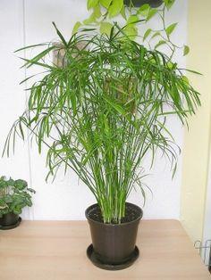 Zyperngras ein Jahr später (Cyperus alternifolius)