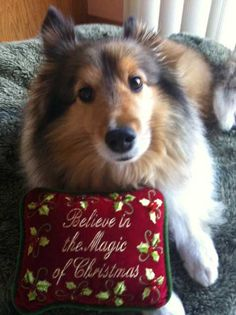 Love this little Sheltie and the message! Merry Christmas Dog, Christmas Animals, Pet Dogs, Dog Cat, Sheep Dogs, Doggies, Kittens And Puppies, Cute Puppies, Shetland Sheepdog